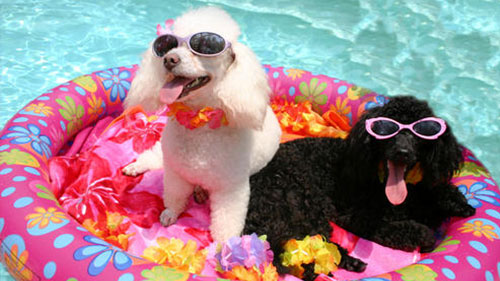 dogs-in-pool-for-web